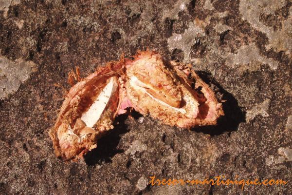 Fruits des antilles l 39 amandier pays ou badamier - Fruit de l amandier ...