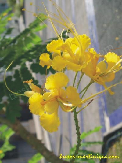 http://www.tresor-martinique.com/fleurs/flamboyant-jaune.jpg