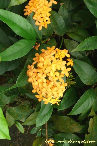 L 39 ixora plante d 39 int rieur for Plantes exotiques d interieur